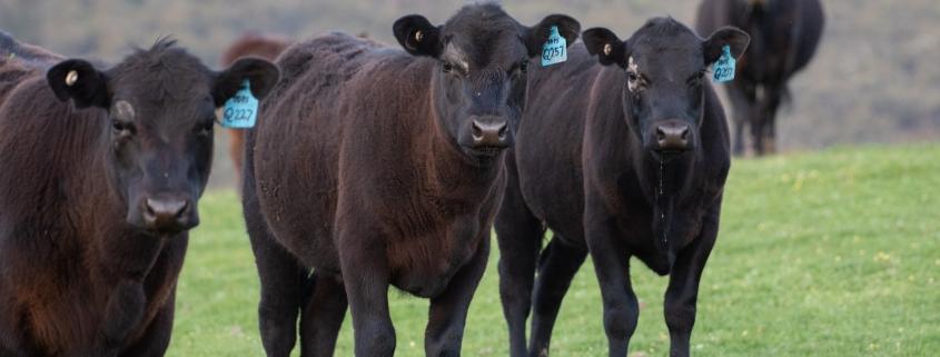 Black Angus una carne de calidad superior
